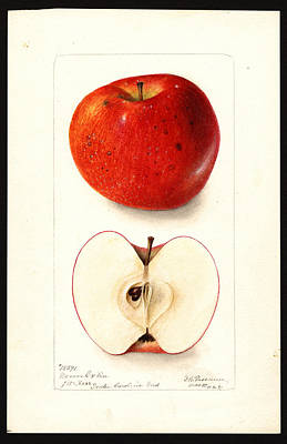 Drawing - Moore Extra Variety Of Apples by Deborah Griscom Passmore