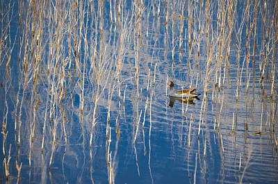 Moorhen In The Reeds Print by Carolyn Marshall