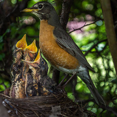 American Robin Photograph - More Please by Chris Bordeleau