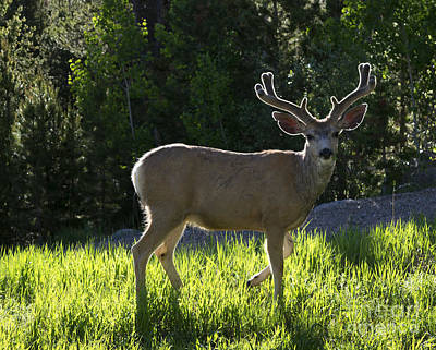 Mountains Photograph - Morning Deer by Jerry McElroy