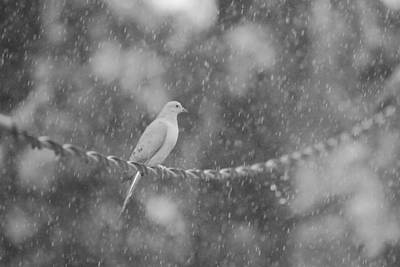 Dove Photograph - Morning Dove In The Rain by Dan Sproul