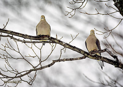 Turtle Photograph - Mourning Dove by LeeAnn McLaneGoetz McLaneGoetzStudioLLCcom