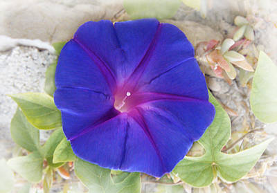 Morning Glory Original by Terence Davis