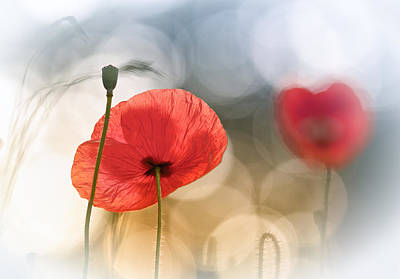 Morning Light Photograph - Morning Poppies by Steve Moore