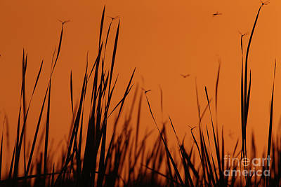 Photograph - Mosquito Hawks Dancing  by Rick Mann