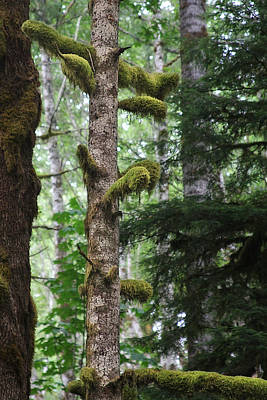 Lichen Photograph - Moss-draped Trees On Tiger Mountain Wt Usa by Christine Till