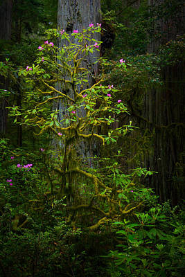 California Redwood Photograph - Mossy Rhododendron by Thorsten Scheuermann