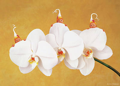 Orchid Photograph - Moth Orchid by Anne Geddes