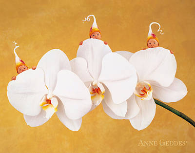 Orchid Photograph - Moth Orchid Triplets by Anne Geddes