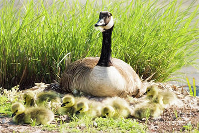 Mother Canada Goose With Her Goslings Print by Vizual Studio