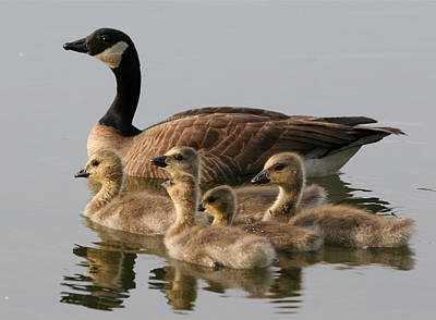 Mother Goose And Her Goslings Print by PhotographyAssociates