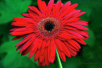 Mother's Day Gerbera Daisy Print by Brian Tada