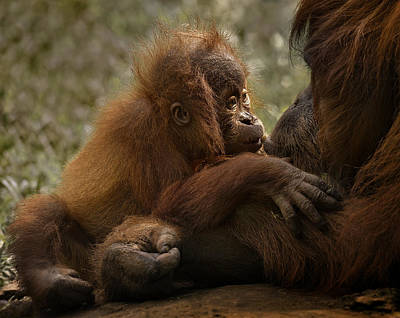 Orangutan Photograph - Mother's Love by C.s.tjandra