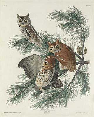 Large Drawing - Mottled Owl by John James Audubon