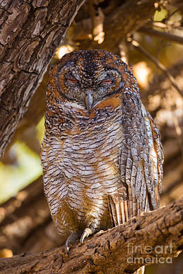 Gir Photograph - Mottled Wood Owl, India by B. G. Thomson