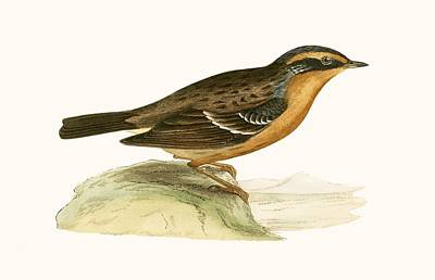Mountain Accentor, Print by English School