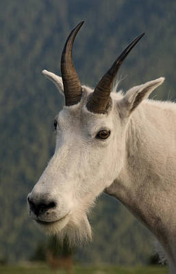 Plexiglas Photograph - Mountain Goat Hurricane Ridge 3696 by Bob Neiman