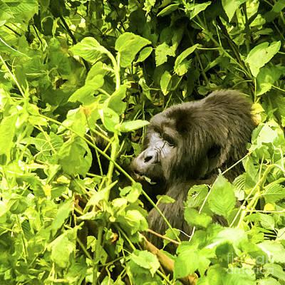 Gorilla Digital Art - Mountain Gorilla by Liz Leyden