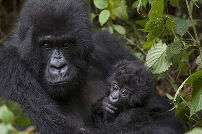 Mountain Gorilla Mother Holding 3 Month Print by Suzi Eszterhas