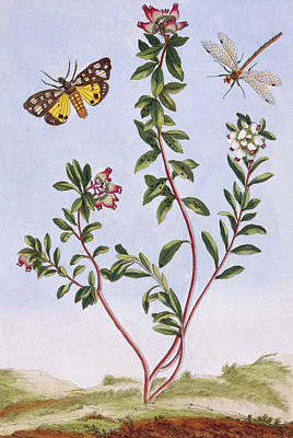 Flutter Drawing - Mountain Heather by Pierre-Joseph Buchoz