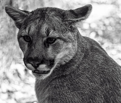 Mountain Lion Bw Print by Chris Flees
