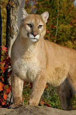 Cougar Photograph - Mountain Lion Standing On Top Of A Rock In An Autumn Forest  by Reimar Gaertner