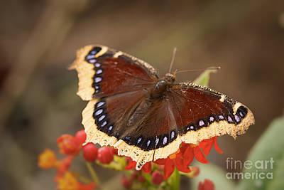 Flutter Photograph - Mourning Cloak Butterfly by Ana V  Ramirez
