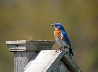 Wetlands Mixed Media - Mr Blue Bird by Robert Pearson