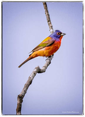 Bunting Digital Art - Mr. Painted Bunting by Danny Pickens