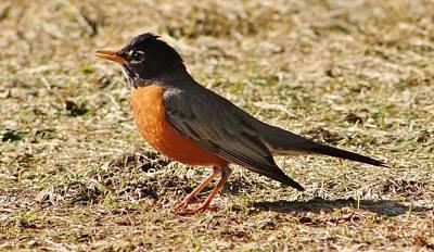 Photograph - Mr. Spring Robin by Al Fritz