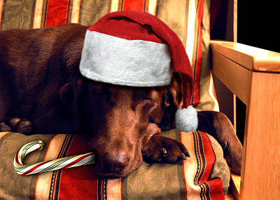 Chocolate Lab Photograph - Ms. Christmas Herself by Ross Powell