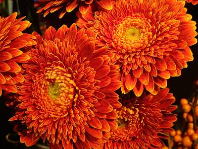 Redish Photograph - Mums In Flames by Rosita Larsson
