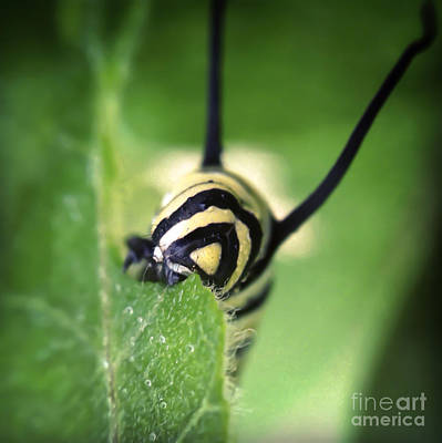 Macro Photograph - Munching Monarch Caterpillar by Kerri Farley