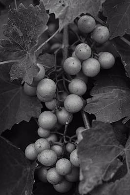 Muscadine Grapes In Black And White Print by Matt Plyler