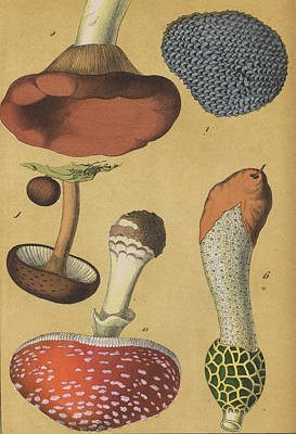 Mushroom Fly Agaric Truffle Print by German Botanical Artist