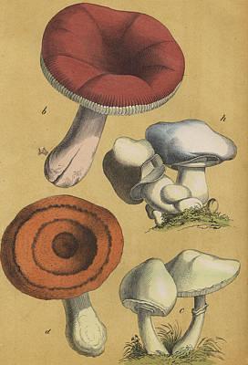 Mushrooms Vintage Drawing Print by German Botanical artist