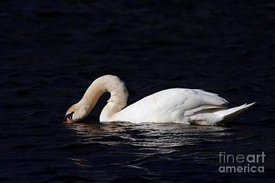 Mute Swan At James River Print by Morgan Hill