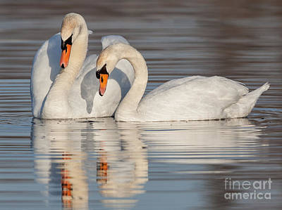 Friendly Digital Art - Mute Swans by Jerry Fornarotto