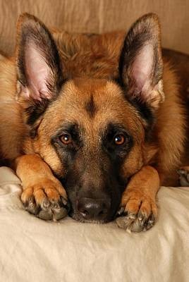 German Shepherd Dogs Photograph - My Loyal Friend by Angie Tirado