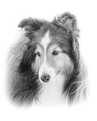 Miniature Collie Photograph - My Sweet Sheltie by Pat Eisenberger