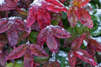 Homesickness Photograph - Nandina Winter Ice by Douglas Barnett