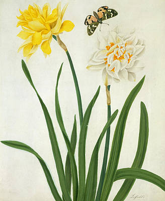 Narcissi And Butterfly Print by Matilda Conyers