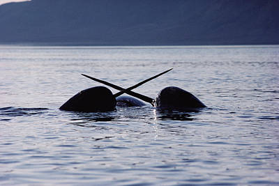 Monoceros Photograph - Narwhal Males Sparring Baffin Island by Flip Nicklin