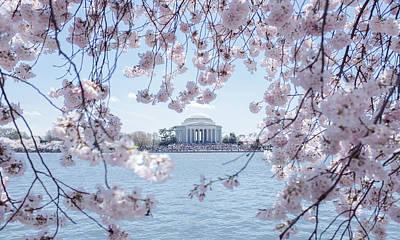 National Cherry Blossom Jefferson Memorial Original by Matailong Du