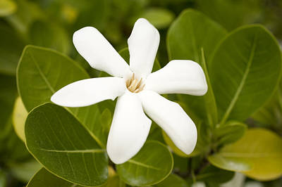 Tiare Photograph - National Flower, The Tahitian Gardenia by Tim Laman