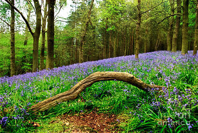 Floral Drawing - Natural Arch And Bluebells by John Edwards