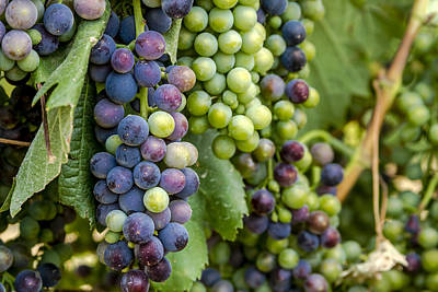 Natures Colors In Wine Grapes Print by Teri Virbickis