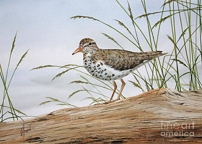 Sandpiper Painting - Nature's Delicate Beauty by James Williamson