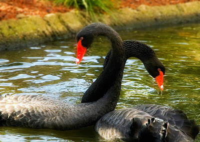 Black Swans Photograph - Necking by Mick Burkey
