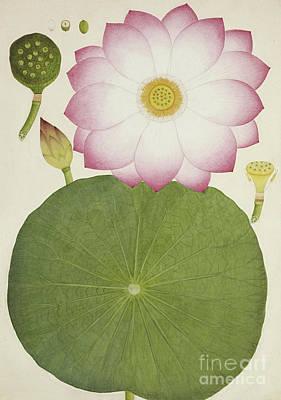 Lilies Drawing - Nelumbium Speciosum Willd by Indian School
